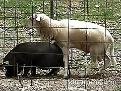 Sheep is trying to fuck a black pork in doggy style pose